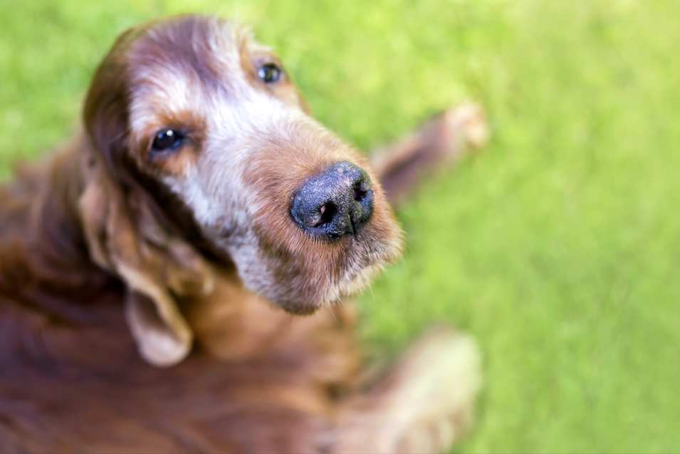 Breeds prone to lens luxation