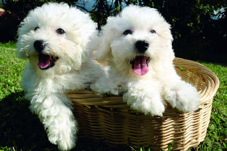 Picture of Bichon Frise puppies in a basket