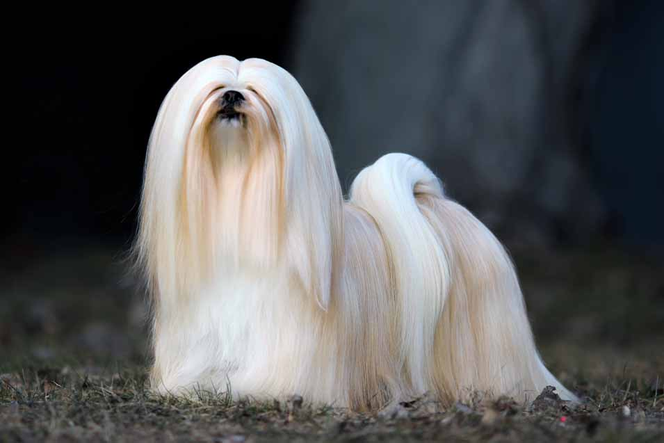 Picture of a Lhasa Apso on black background