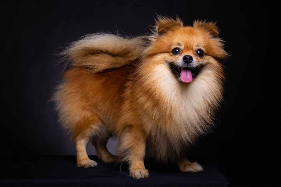 Picture of a Pomeranian on a black background