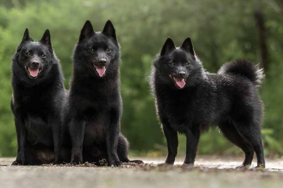 Picture of a group of Schipperke