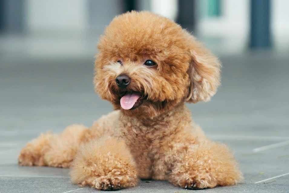 Picture of a Toy Poodle