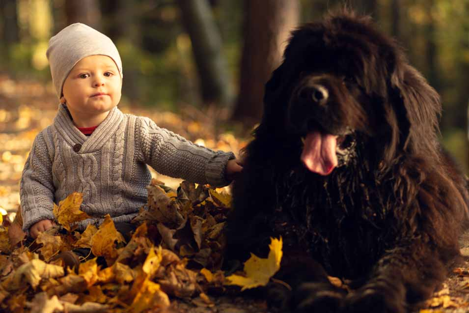 Picture of a boy and a Newfoundland Dog in the leaves
