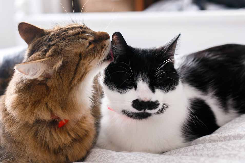 cat licking another cat