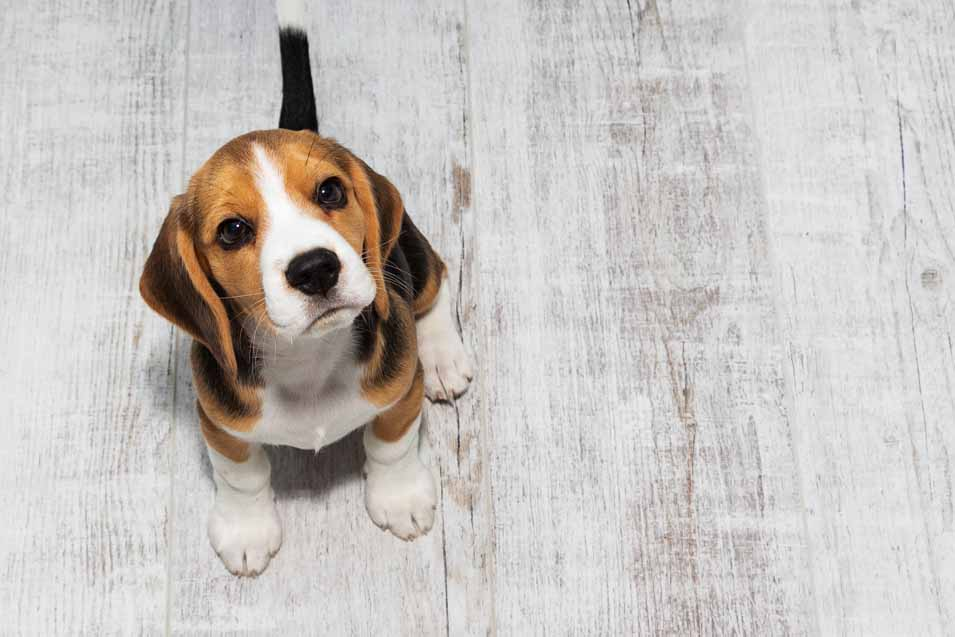 Picture of a Beagle in an apartment