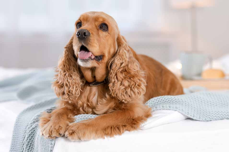 Picture of a Cocker spaniel in the bedroom