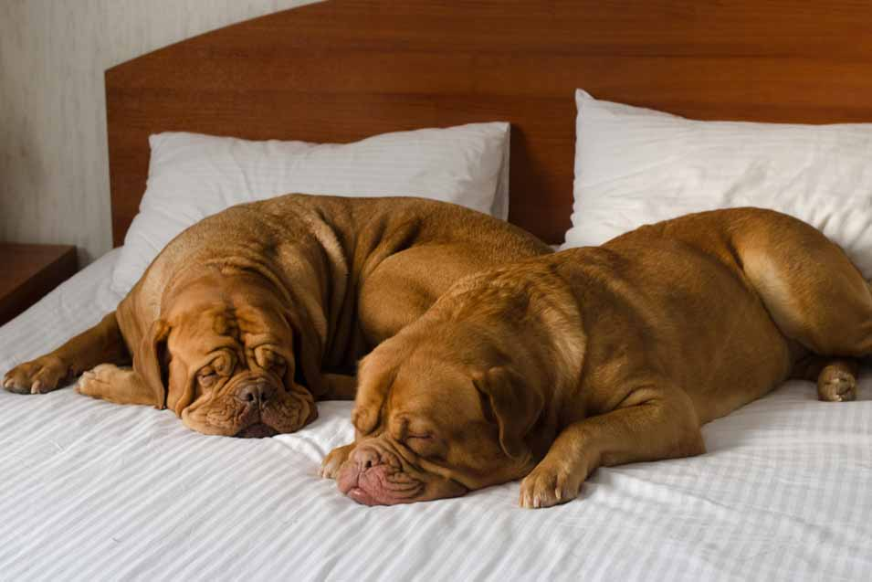 Picture of 2 Dogue de Bordeauxs on a bed