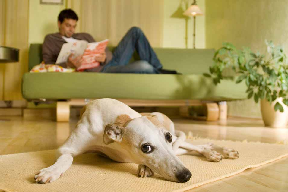 Picture of a Whippet laying on the floor
