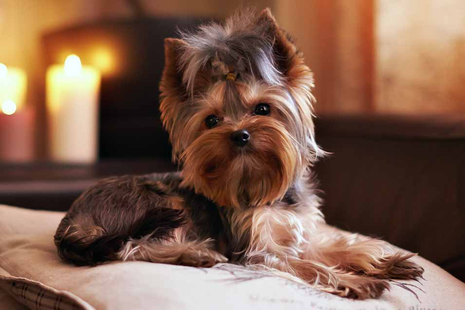 Picture of a Yorkshire Terrier sitting on pillows