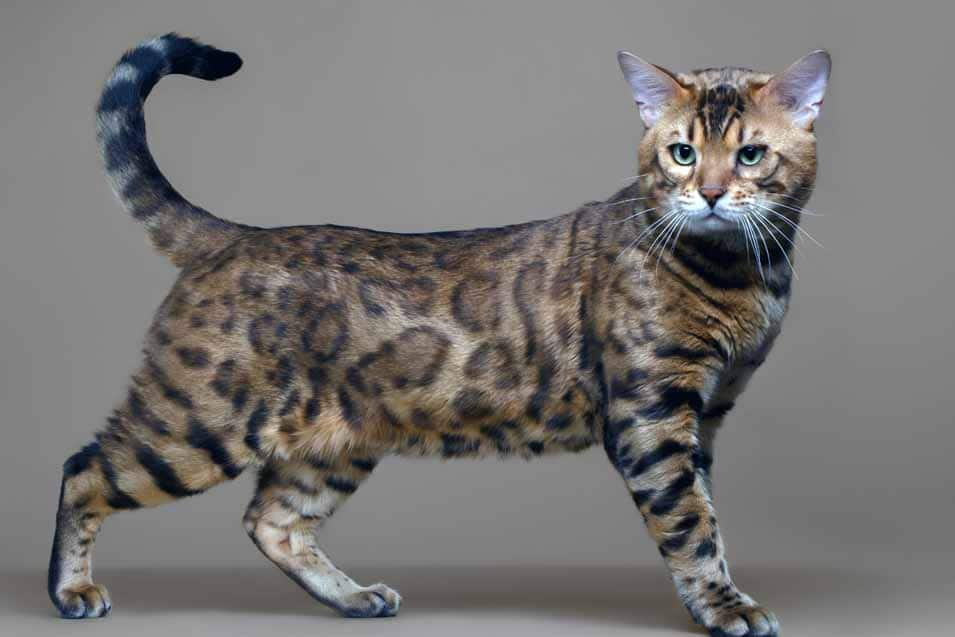 Picture of a Bengal Cat