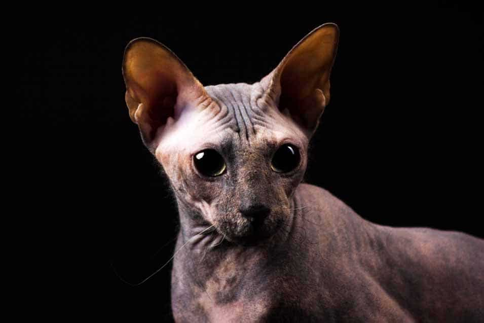 Picture of a Donskoy Cat