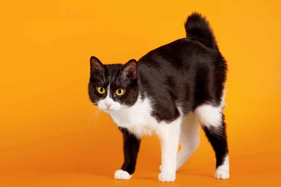 Picture of a Japanese Bobtail Cat