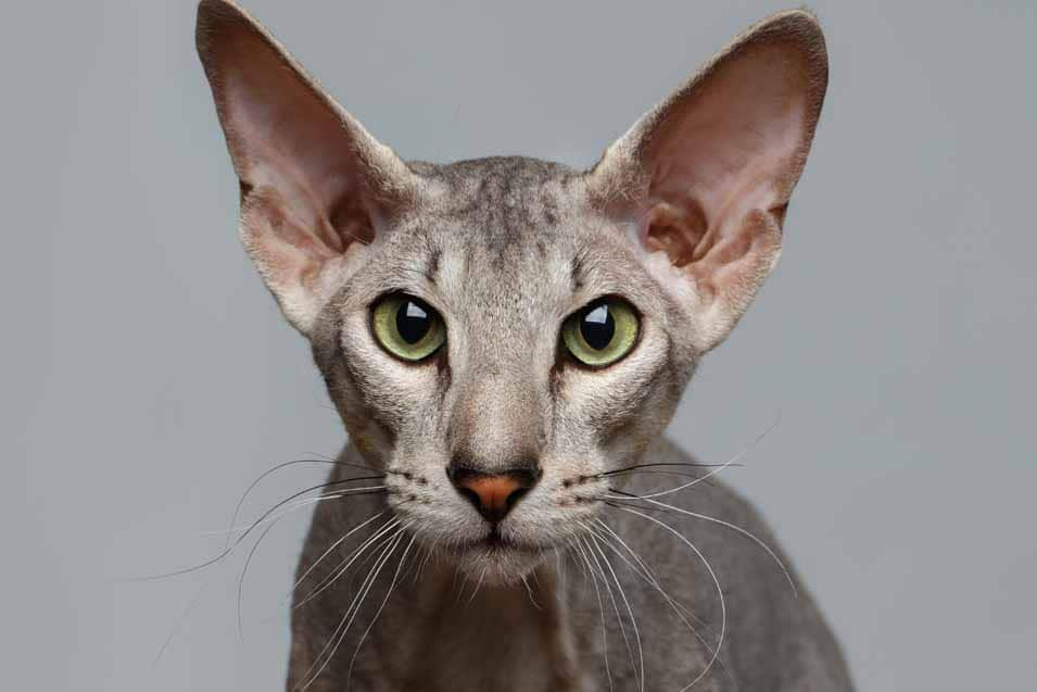 Picture of a Peterbald Cat