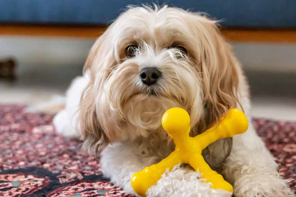 dog with a yellow chew toy