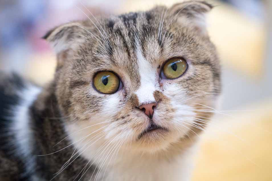 why do cats vomit