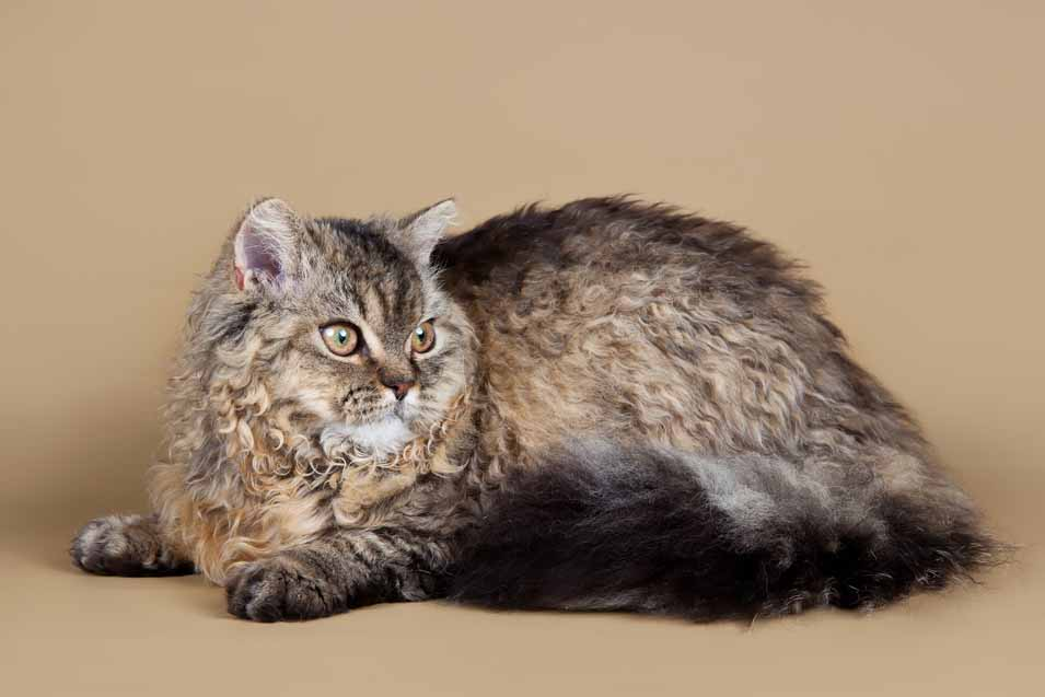 Picture of a brown cat