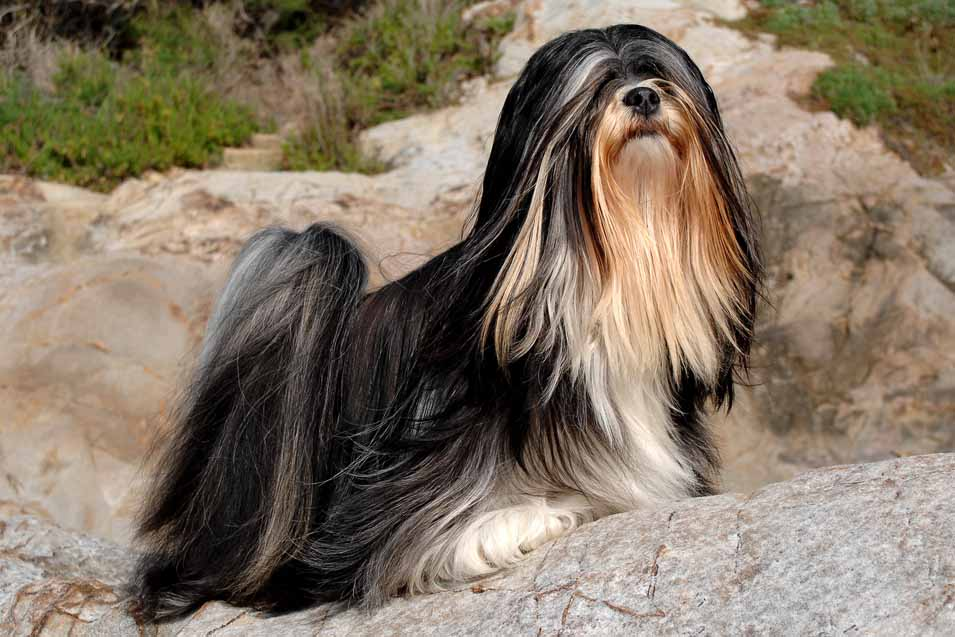 Picture of Lhasa Apso