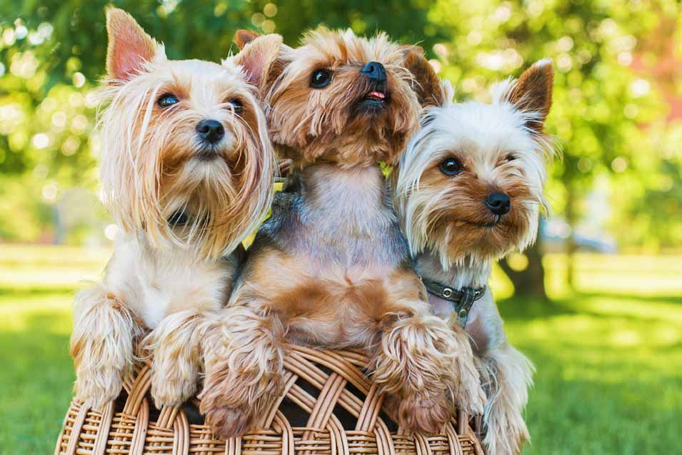 Picture of Yorkshire Terriers in a basket