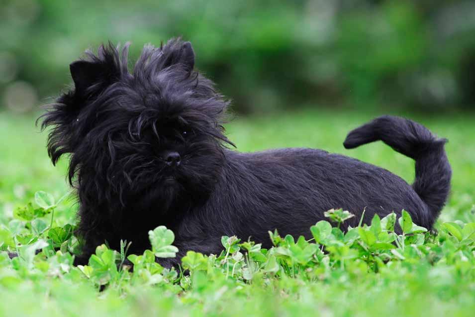 Picture of an Affenpinscher