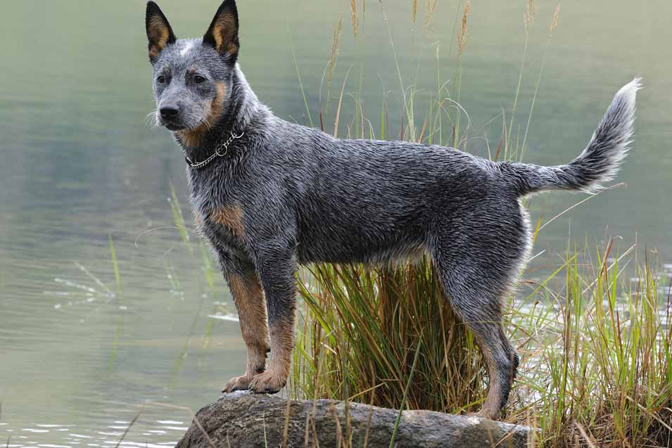 Picture of a Australian Cattle Dog