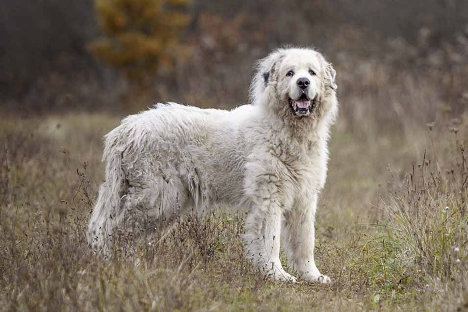 Picture of a Great Pyrenees dog
