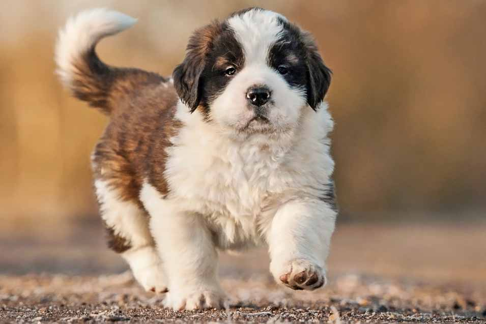 Picture of a Saint Bernard puppy