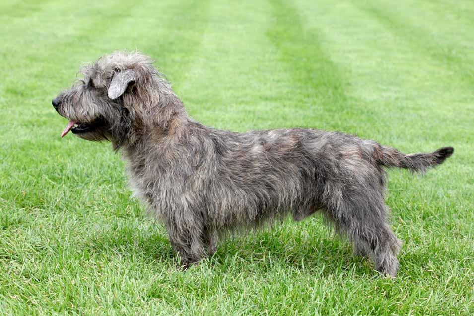 Picture of a Irish Glen of Imaal Terrier