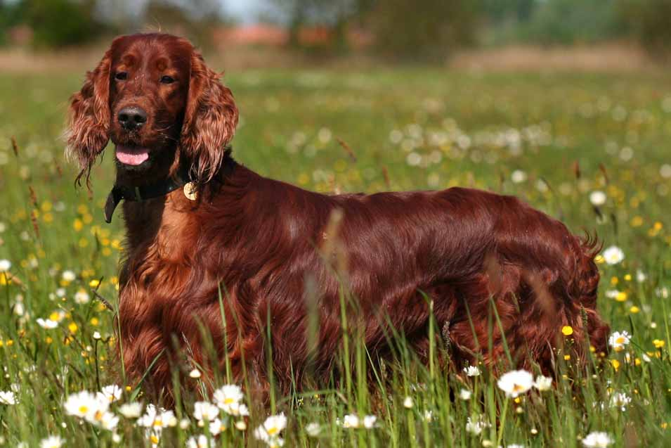 Picture of a Irish Red Setter