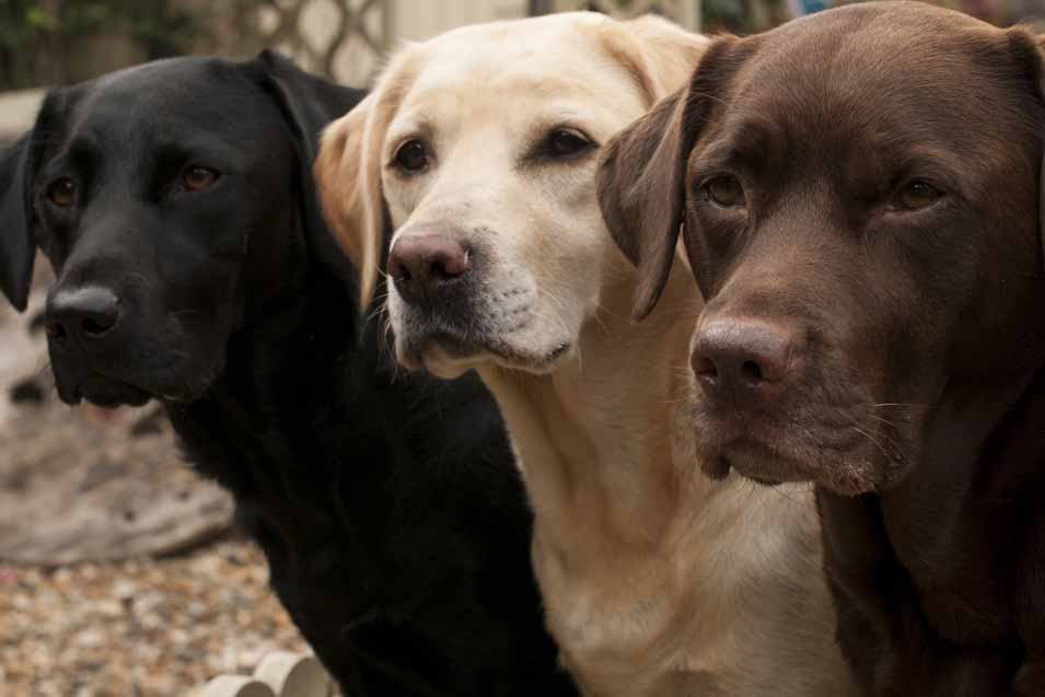Picture of a black, brown and golden Labrador Retriever