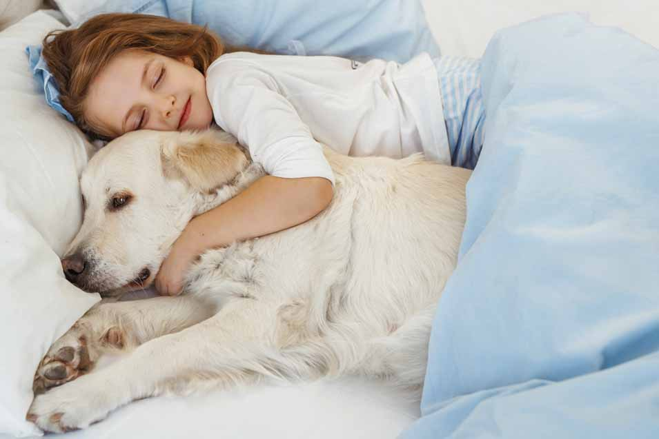 Picture of a Golden Retriever in bed