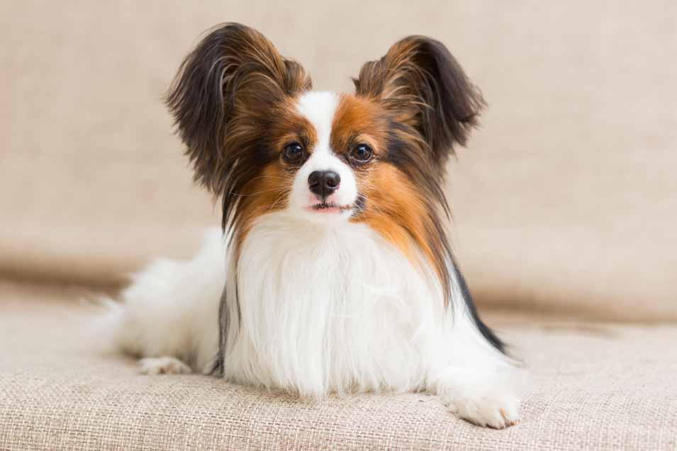 Picture of a Papillon Dog