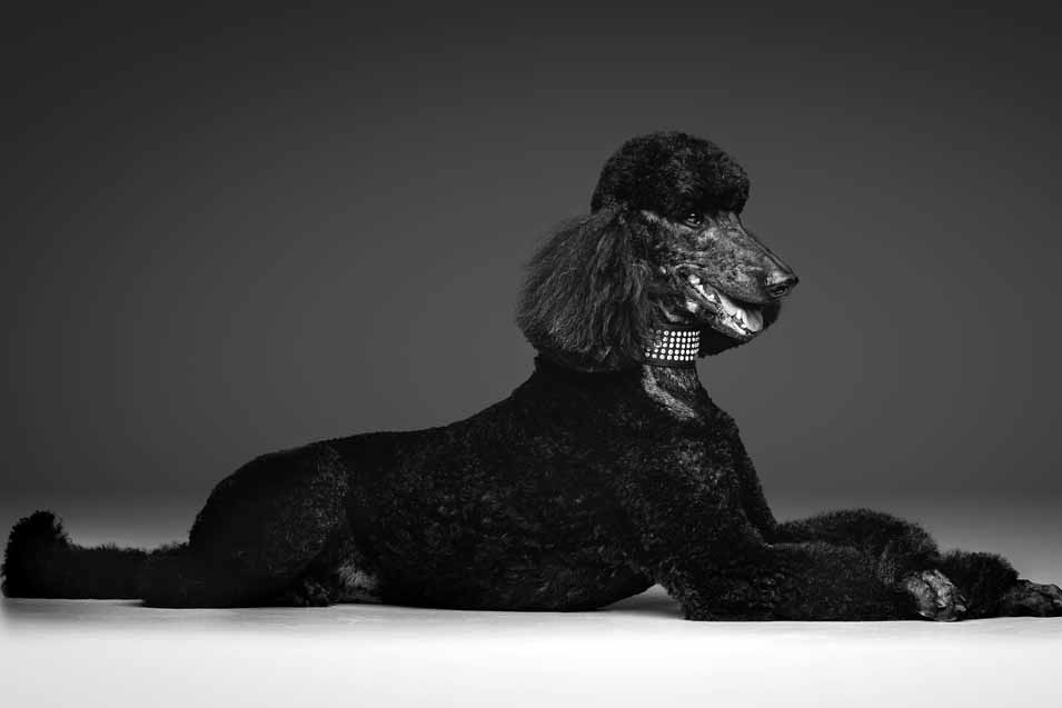 Picture of a black Standard Poodle