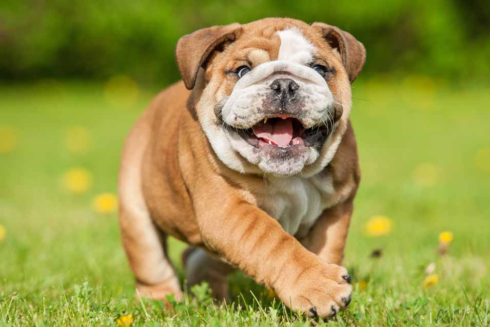 Picture of a Bulldog puppy running