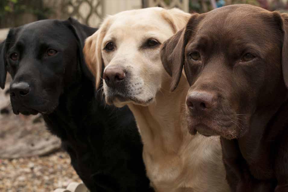 Picture of Labrador Retrievers