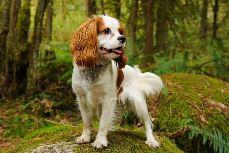 Picture King Charles Spaniel