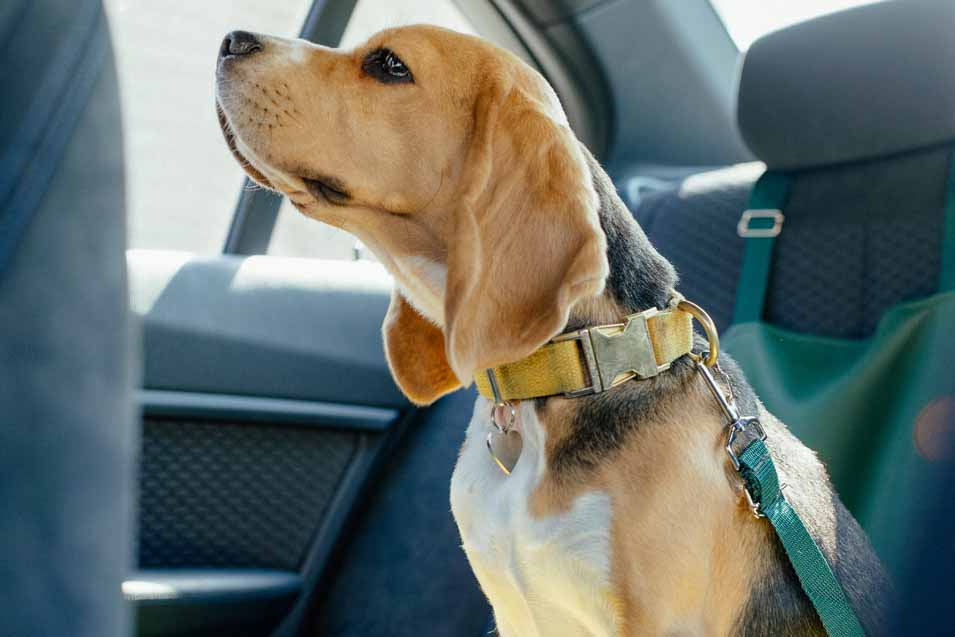 Picture of a dog wearing a harness in the car