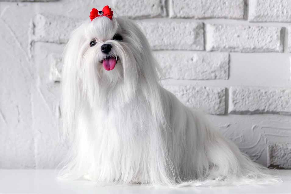 Picture of a Maltese