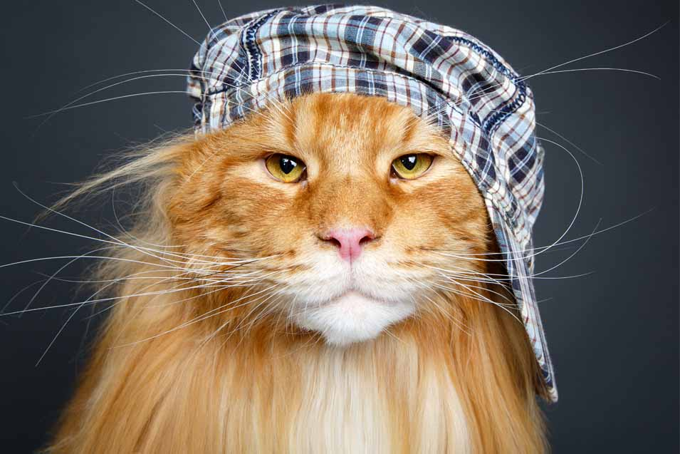 cat breed trivia
