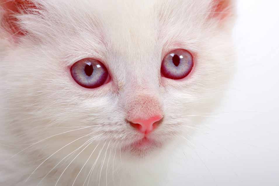 Picture of a cat with albino eyes