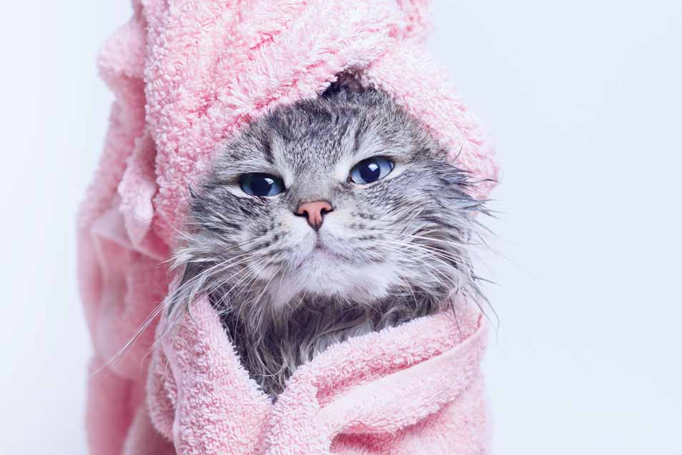 Picture of a cat after a bath