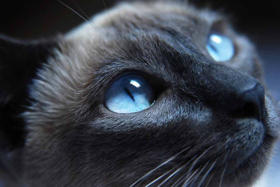 Picture of a cat with blue eyes