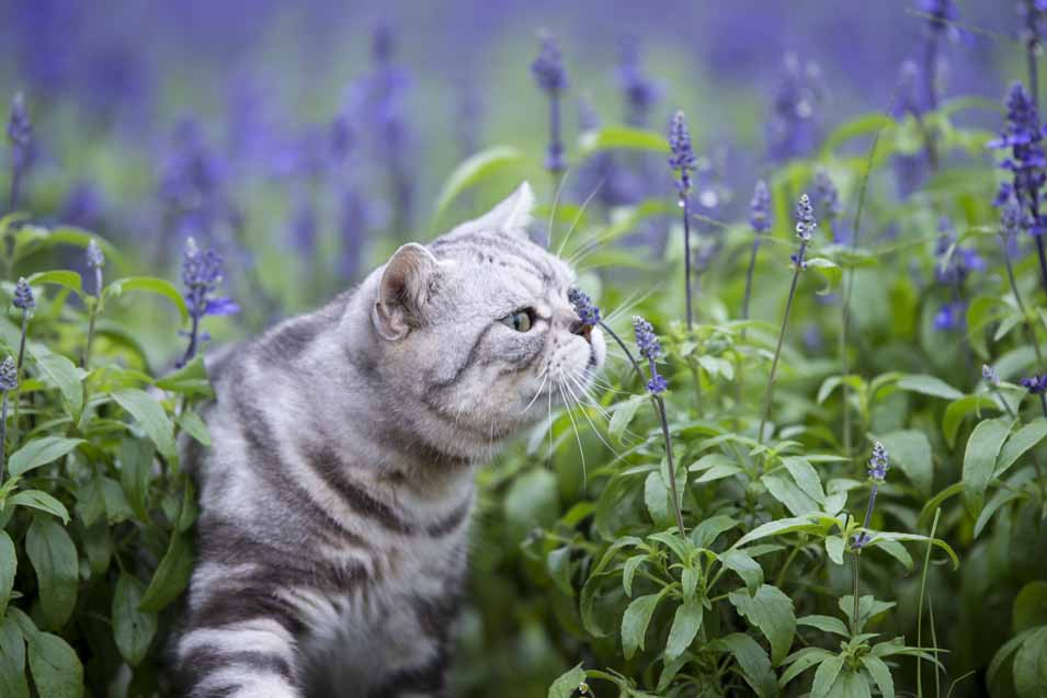 Picture of a cat smelling lavender