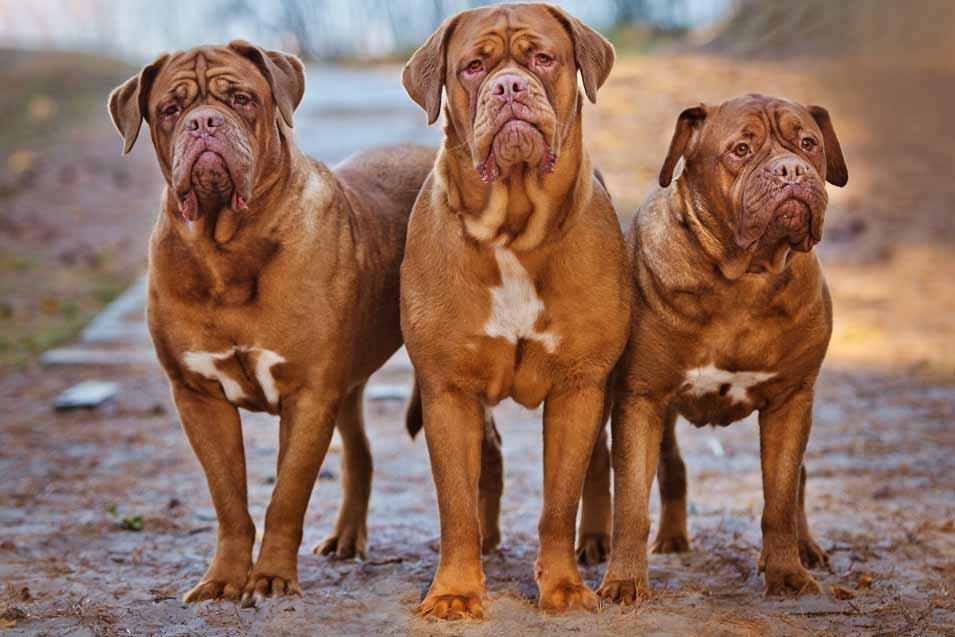 Picture of 3 Dogue De Bordeaux dogs