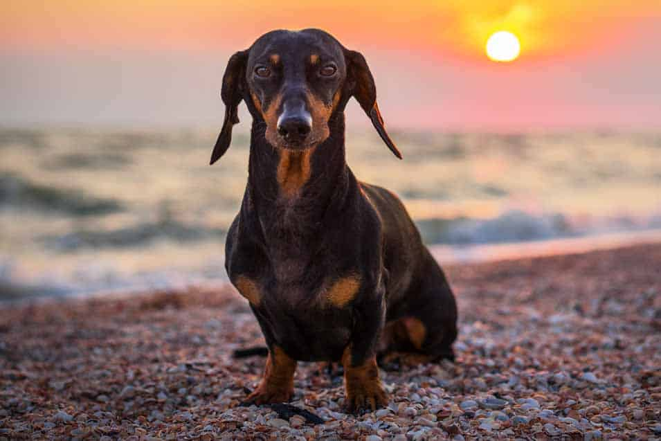 Picture of a dachshund at sunset