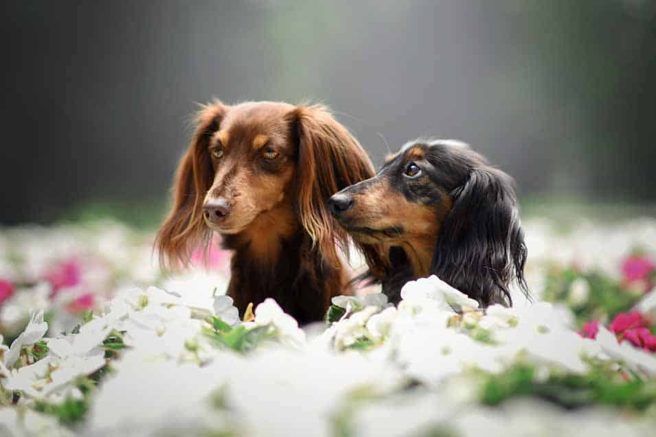 Picture of a dachshunds in flowers