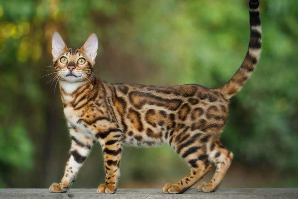 Picture of a Spotted Tabby Cat