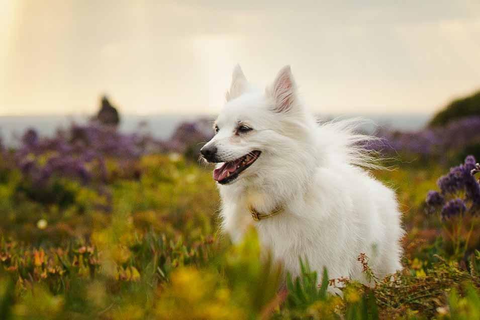 Picture of a American Eskimo Dog