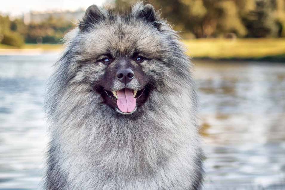 Picture of a Keeshond