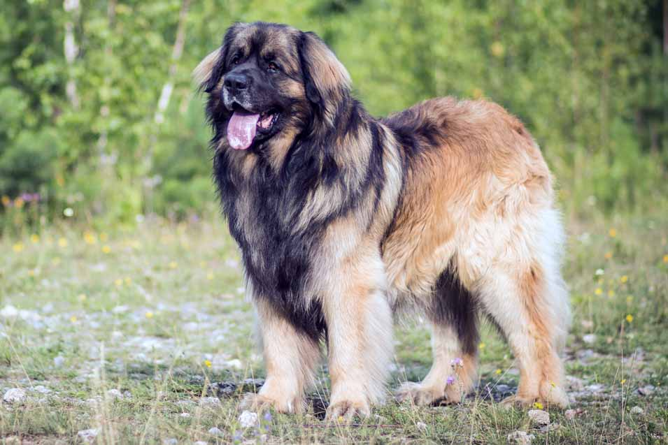 Picture of a Leonberger in the forest