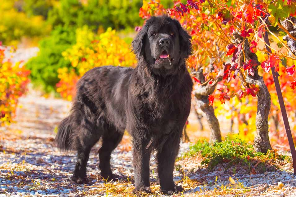 Picture of a Newfoundland dog in the fall